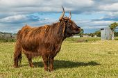 Hairy Highland Cow