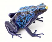 blue poison dart frog, dendrobates tinctorius from the Amazon rain forest of Suriname.