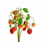 Bunch Of Wild Strawberries