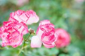 Closeup Beautiful Macro Red Rose