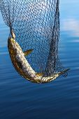 stock photo of laplander  - Trout in scoopnet - JPG