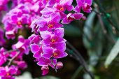 pic of orquidea  - orchid flower with buds background  - JPG
