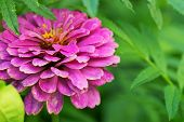 Bright Purple Garden Zinnia