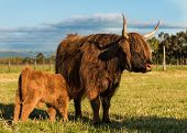 picture of calf cow  - Highland brown cow with her young calf - JPG