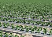 Pepper Plant Rows