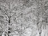 Snowbound Oak And Birch Forest In Winter