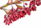 Ripe Barberry On A Branch Close-up