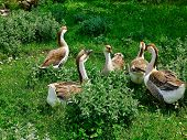 A Flock Of Domestic Geese poster
