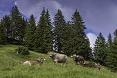 image of cow  - Few cows in fir-tree forest meadow.Summer view of meadow with cows.Swiss Brown milk cows in a pasture in the  forest.