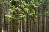 Forest With Conifers