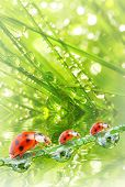Fresh morning dew on a spring grass and little ladybugs. Natural background.