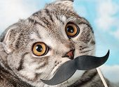 Portrait Of A Young Scottish Fold Cat With Paper Mustaches