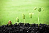 stock photo of germination  - plants growing in sequence of seed germination on soil - JPG