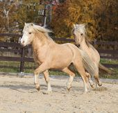 pic of pony  - Two amazing palomino stallions playing together in autumn welsh mountain pony and welsh pony of cob type - JPG