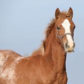 foto of foal  - Amazing foal with halter looking at you - JPG