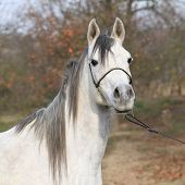 stock photo of arabian horse  - Portrait of amazing arabian horse with show halter in autumn - JPG