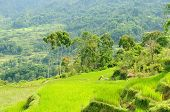 picture of nasi  - Green rice terraces in Tana Toraja South Sulawesi Indonesia - JPG