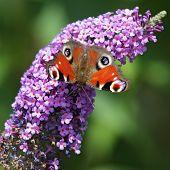 picture of butterfly-bush  - European Peacock  - JPG