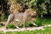 picture of cheetah  - A cute and beautiful cheetah going hunting - JPG