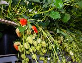 stock photo of hydroponics  - Closeup of blossoming and ripening strawberries hanging in a modern company specialized in hydroponic strawberry cultivation on substrate - JPG