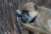 pic of boredom  - Yellow baboon  - JPG