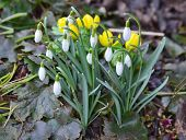 stock photo of bohemia  - first spring flowers South Bohemia Czech Republic - JPG