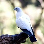 picture of pigeon  - White Pigeon sitting on the tree - JPG