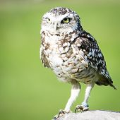 stock photo of owl eyes  - Owl looking for its prey with its bright eyes - JPG