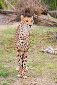 picture of cheetah  - Beautiful Cheetah Gepard Acinonyx jubatus standing on green grass and looking at camera - JPG