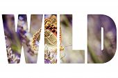 picture of lavender plant  - Word WILD over butterfly sitting on lavender plants - JPG