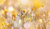 pic of wildflowers  - The yellow wildflowers of a buttercup on a meadow lit with the sun.