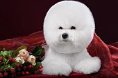 stock photo of bichon frise dog  - portrait of the bichon dog with white fur - JPG