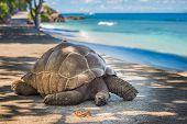 image of tortoise  - Highly detailed image of Seychelles giant tortoise - JPG