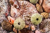 foto of shells  - Green sea urchins with light brown abalone shells mixed with other shells and sand viewed up close - JPG