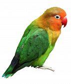 Vogel Agapornis fischeri