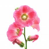 foto of hollyhock  - the hollyhock flower isolated on white background - JPG