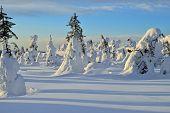pic of laplander  - Snowy trees in wildernes area Lapland Finland - JPG