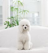 stock photo of poodle  - White poodle lying on the bed in the living room - JPG