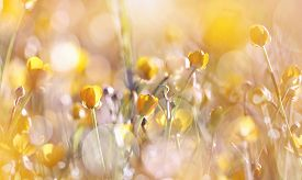 picture of buttercup  - The yellow wildflowers of a buttercup on a meadow lit with the sun. ** Note: Soft Focus at 100%, best at smaller sizes - JPG