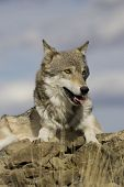 stock photo of north american gray wolf  - Wolf sits atop a rocky ledge in Montana - JPG
