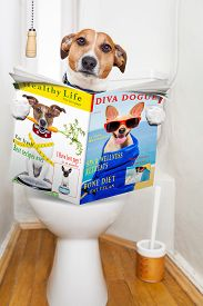 picture of feces  - jack russell terrier sitting on a toilet seat with digestion problems or constipation reading the gossip magazine or newspaper - JPG