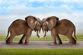 picture of headstrong  - test of strength concept elephants pushing against each other - JPG