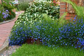 pic of lobelia  - Blue lobelia flowers grow in the flower bed with other flowers and plants in the summer garden - JPG