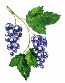 pic of bine  - branche of black currants with berries and green leaves drawing by watercolor - JPG