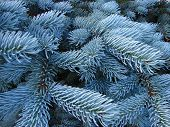 image of blue spruce  - close - JPG