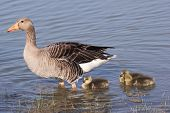 Greylag Goose With Gosling