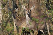 Whitetail Deer Doe And Yearling