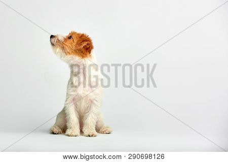 Jack Russell Terrier Puppy Close