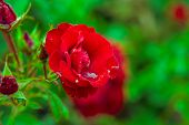 Focus On Blossom Red Rose Flower On Blurred Green Leaves Background. Red Rose On Green Branch. Close poster