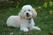 Barking Toy Poodle poster